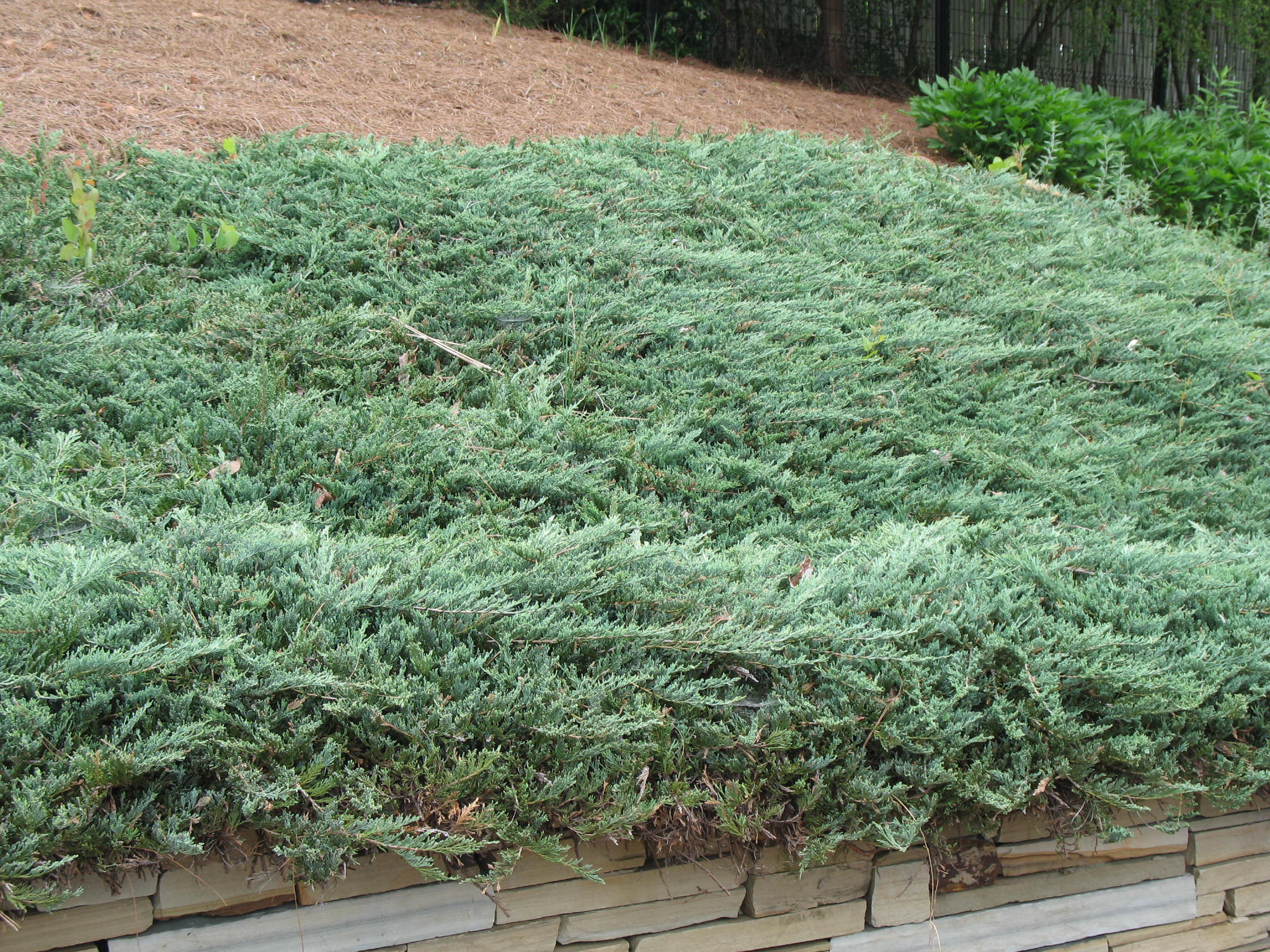 Tolerance of landscape groundcover and vine species to for The juniper