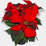 26 - Euphorbia pulcherrima - poinsettia