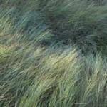 27 - Beardless Wildrye - LeymusTriticoides