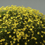 27 - Euryops - golden shrub daisy