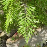 27 - Grevillea robusta - silk oak