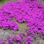 27 - Purple Iceplant