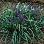 28 - liriope-muscari - Lilyturf (Liriope)