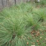 28 - lovegrass