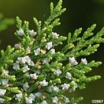 29 - Juniperus silicicola - southern red cedar
