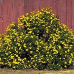 29 - gamolepis chrysanthemoides - african bush daisy