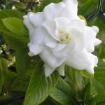 30 - Cape Jasmine - Gardenia