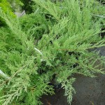 30 - Juniperus_virginiana - skyrocker juniper