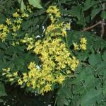 31 - Koelreuteria Paniculata - goldenrain tree