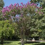 Lagerstroemia indica MHNT Jardin des Plantes de Toulouse