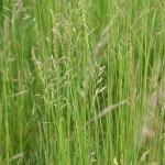 32 - Meadow-Fescue