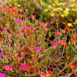 32 - Purslane (Rose Moss)