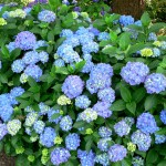 33 - Hydrangea_macrophylla - hydrangea