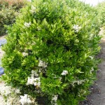 33 - ligustrum japonicum - Japanese Privet