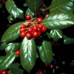 34 - illex cornuta - chinese holly