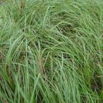 35 - Kallargrass