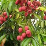 35 - Litchi chinensis - lychee