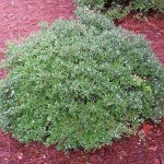35 - ilex vomitoria - Dwarf-Yaupon-Holly