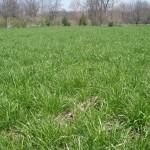 36 - Annual Ryegrass