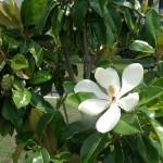 36 - magnolia grandiflora - southern magnolia