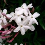 38 - Jasminum_polyanthum - jasmine