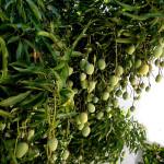 38 - Mangifera indica - mango