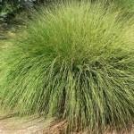 39 - Deergrass
