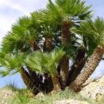 4 - Chamaerops humilis - mediterranean fan palmjpg