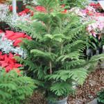 4 - araucaria heterophylla - norfolk island pine
