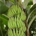 40 - Musa Acuminata - banana