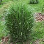 40 - Panicgrass