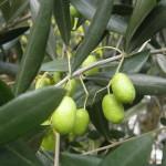 41 - olea europaea - olive