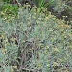 42 - Parthenium argentatum - Guayle
