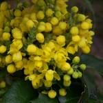 42 - mahonia aquifolium - oregon-grape