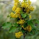 43 - Mahonia_pinnata - california holly grape