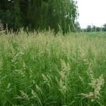 44 - Canarygrass