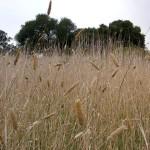 45 - Harding Grass
