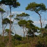 45 - pinus clausa - sand pine