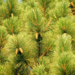 46 - Pinus elliottii - florida slash pine
