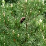 47 - Pinus halepensis - aleppo pine