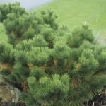 48 - Pinus thunbergii - japanese black pine