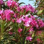 48 - nerium oleander - oleander