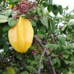 5 - Averrhoa carambola - starfruit