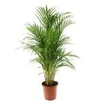5 - chrysalidocarpus lutescens - areca palm