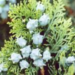 50 - Platycladus orientalis - Oriental Arbor-Vitae