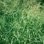 52 - Sudan grass