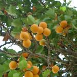 53 - Prunus armeniaca - apricot