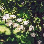 53 - photinia glabra - Japanese Photinia