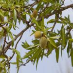 55 - Prunus dulcis - Almond