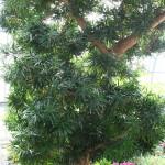 56 - Podocarpus_macrophyllus - Yew Pine